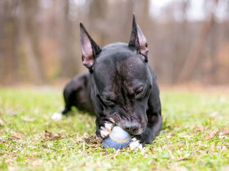 A black Pit Bull Terrier mixed breed dog holding a ball in its paws and chewing on it outdoors in the grass