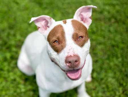 A red and white Pit Bull Terrier mixed breed dog sitting outdoors and looking up at the camera Stock Photo