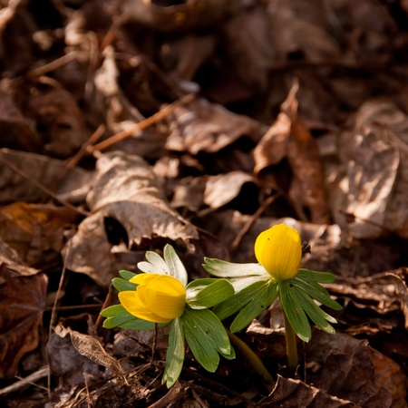 Yellow Winter Aconite Flowers Stock Photo