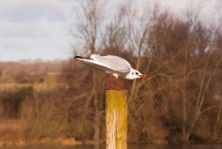 Lakeland gull
