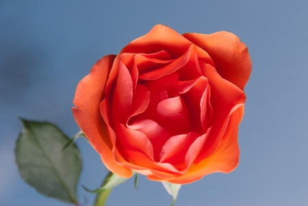 Single open orange rose against a blue sky