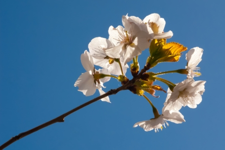 White cherry blossom against clear blue sky Stock Photo