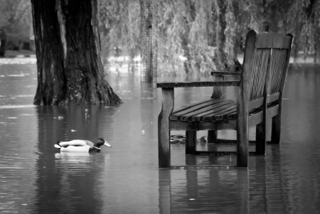 Duck swimming around a wooden park bench in a flooded riverside park