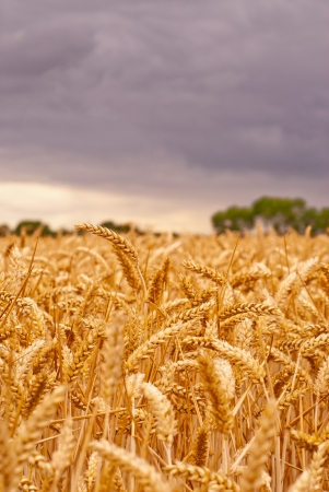 A field of golden wheat with dark purple storm clouds gathering in the sky