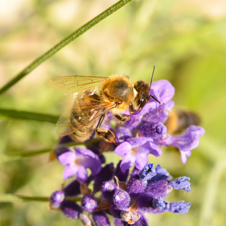 A honeybee feeding on a lavender plant