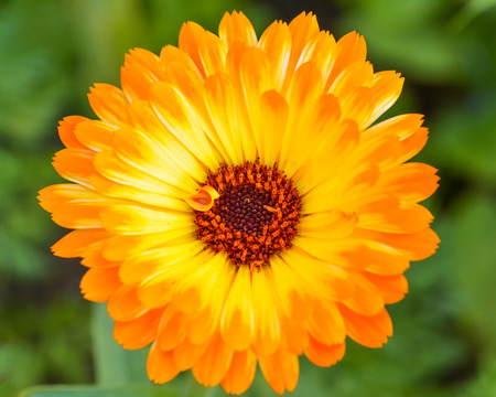Close up of a single orange gerbera flower
