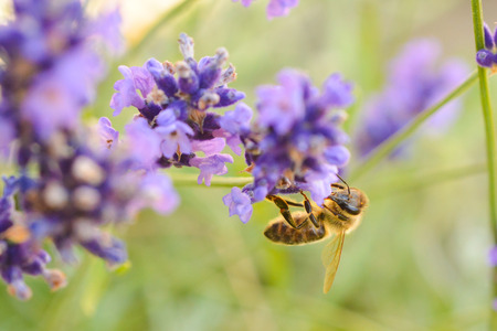 A honeybee on a lavender plant  Stock Photo