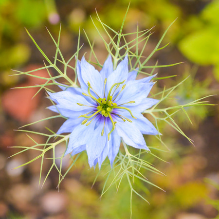 A single, blue Love-in-a-Mist flower