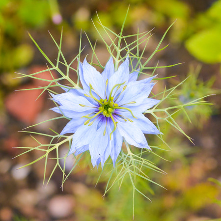 Close up of a single Love-in-a-Mist flower