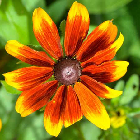 Close up of a Black-eyed Susan flower