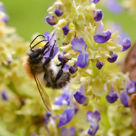 bee on flower: Bee on purple flower Stock Photo