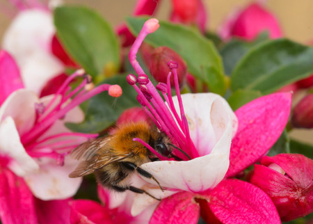 Bee pollinating a pink and white fuchsia Stock Photo