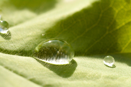 Trichomes in a raindrop on a leaf Stock Photo