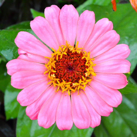 Square format macro of pink daisy