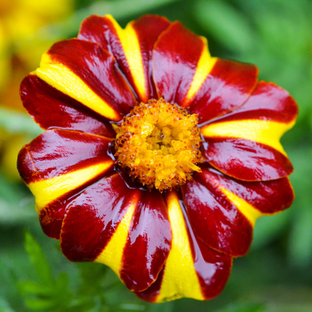 Square format, macro photograph of two-tone red and yellow marigold