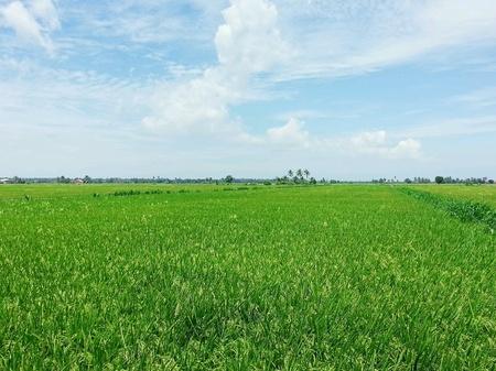 padi: Beautiful paddy field Stock Photo
