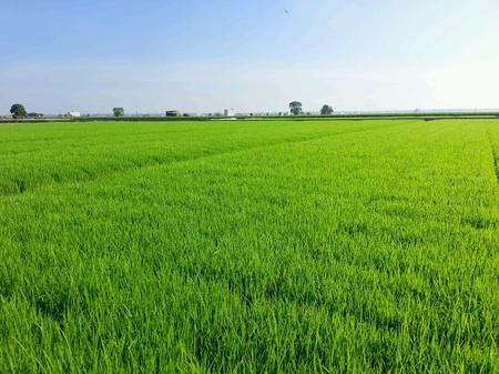 padi: Paddy field Stock Photo