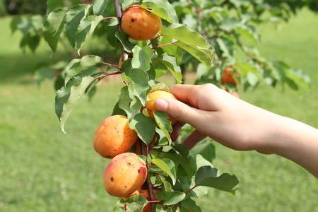 アプリコットの木の枝からアプリコットを選んで手