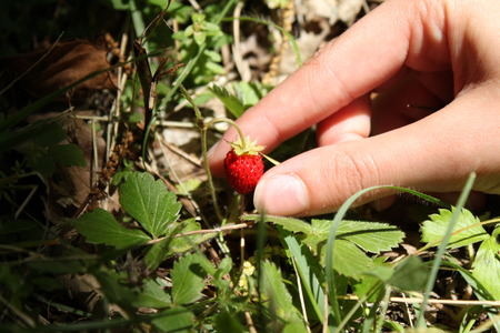 wild strawberry: Hand picking a wild strawberry Stock Photo