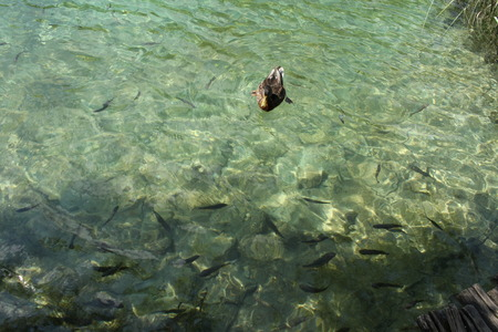 Duck and fishes in a lake in Plitvice National Park, Croatia photo
