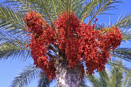 green dates: Phoenix dactylifera Palm tree full of date bunches