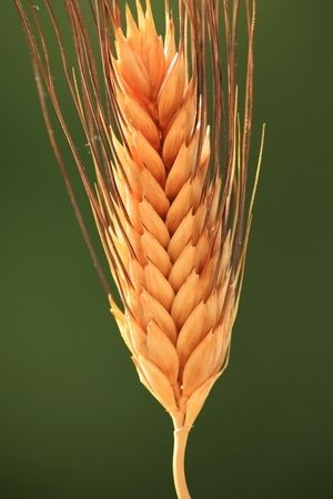 close-up of a sunny wheat spike on a green blurry background Stock Photo - 6749733