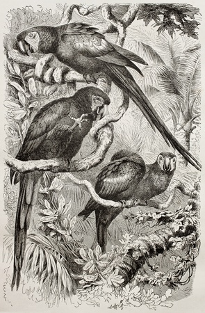 naturalistic: Old illustration of Scarlet Macaw (Ara macao). Created by Kretschmer and Schmid, published on Merveilles de la Nature, Bailliere et fils, Paris, 1878