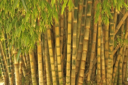Dense bamboo bush with many big canes Stock Photo - 14947714