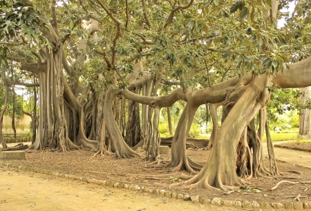 branched: Giant specimen of ficus magnolioides with long branch supported by adventitious roots