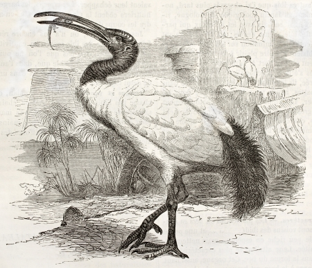 african ancestry: African Sacred Ibis old illustration (Threskiornis aethiopicus). Created by Kretschmer and Jahrmargt, published on Merveilles de la Nature, Bailliere et fils, Paris, ca. 1878