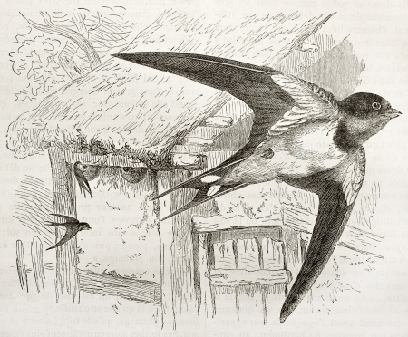 hirundo rustica: Barn Swallow old illustration (Hirundo rustica). Created by Kretschmer and Jahrmargt, published on Merveilles de la Nature, Bailliere et fils, Paris, 1878