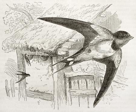 swallow: Boerenzwaluw oude illustratie (Hirundo rustica). Gemaakt door Kretschmer en Jahrmargt, gepubliceerd op Merveilles de la Nature, Bailliere et fils, Parijs, 1878 Redactioneel