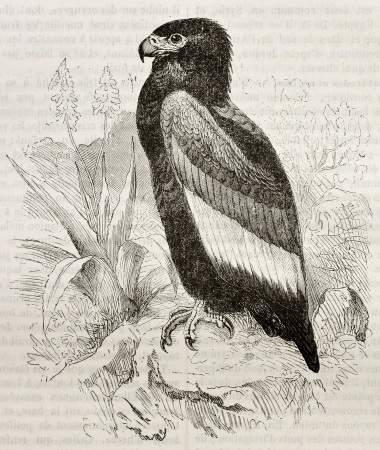 Old illustration of Bateleur (Terathopius ecaudatus). Created by Kretschmer and Wendt, published on Merveilles de la Nature, Bailliere et fils, Paris, 1878