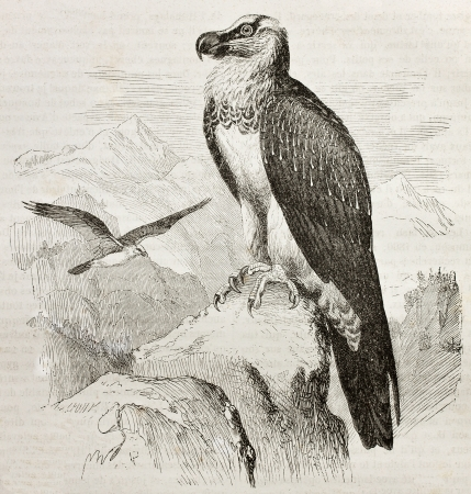 beak vulture: Old illustration of Bearded Vulture or Lammergeier (Gypaetus barbatus). Created by Kretschmer and Wendt, published on Merveilles de la Nature, Bailliere et fils, Paris, 1878