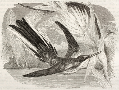 black ancestry: Black-eared Fairy old illustration (Heliothryx auritus). Created by Kretschmer and Jahrmargt, published on Merveilles de la Nature, Bailliere et fils, Paris, ca. 1878 Editorial
