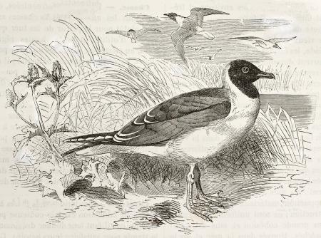 black ancestry: Black-headed Gull old illustration (Chroicocephalus ridibundus). Created by Kretschmer and Wendt, published on Merveilles de la Nature, Bailliere et fils, Paris, ca. 1878