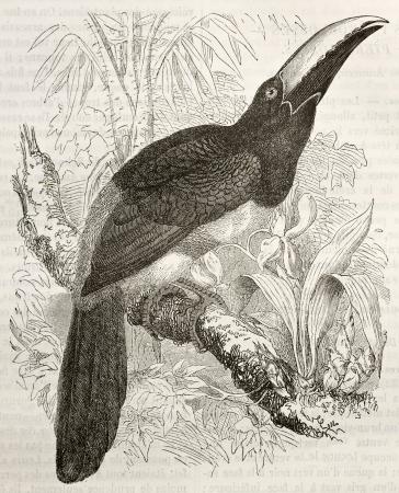 black ancestry: Black-necked Aracari old illustration (Pteroglossus aracari). Created by Kretschmer and Illner, published on Merveilles de la Nature, Bailliere et fils, Paris, ca. 1878