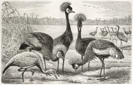 Black Crowned Crane (Balearica pavonina) and Demoiselle Crane (Anthropoides virgo) old illustration. By unidentified author, published on Merveilles de la Nature, Bailliere et fils, Paris, ca. 1878