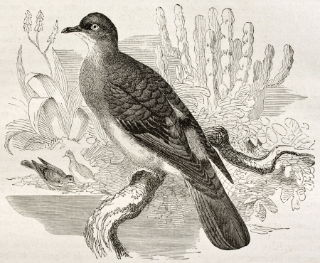 bluespotted: Blue-spotted Wood Dove old illustration (Turtur afer). Created by Kretschmer, published on Merveilles de la Nature, Bailliere et fils, Paris, ca. 1878 Editorial