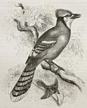 oiseau dessin: Vieille illustration de Blue Jay (Cyanocitta cristata). Créé par Kretschmer et Jahrmargt, publié sur la nature Merveilles de la, Baillière et fils, Paris, 1878 Éditoriale