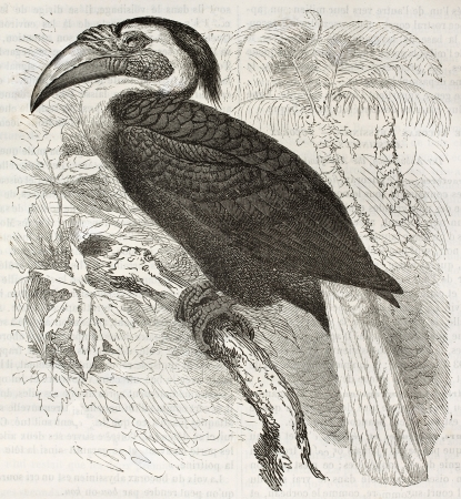Blyths Hornbill old illustration (Rhyticerus plicatus). Created by Kretschmer and Illner, published on Merveilles de la Nature, Bailliere et fils, Paris, ca. 1878