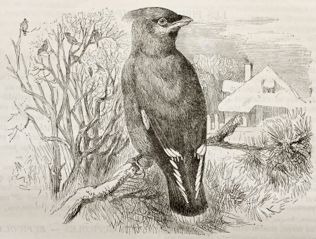 Bohemian Waxwing old illustration (Bombycilla garrulus). Created by Kretschmer and Wendt, published on Merveilles de la Nature, Bailliere et fils, Paris, 1878