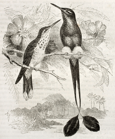 Booted Racket-tail old illustration (Ocreatus underwoodii). Created by Kretschmer, published on Merveilles de la Nature, Bailliere et fils, Paris, ca. 1878