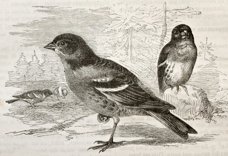 Old illustration of a Brambling (Fringilla montifringilla). Created by Kretschmer and Schmid, published on Merveilles de la Nature, Bailliere et fils, Paris, 1878