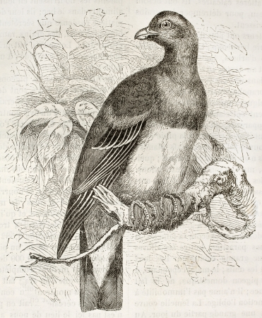 Bruce's Green Pigeon old illustration (Treron waalia). Created by Kretschmer, published on Merveilles de la Nature, Bailliere et fils, Paris, ca. 1878 Stock Photo - 15004891