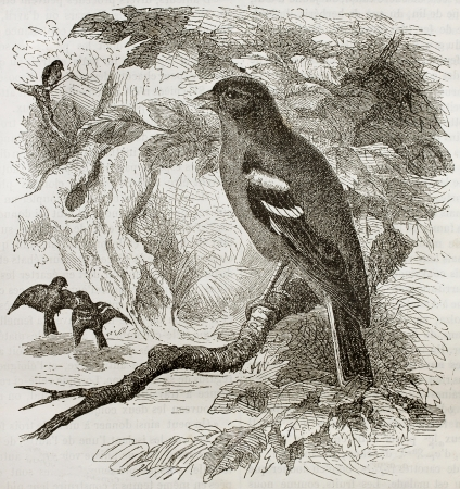 Old illustration of a Chaffinch (Fringilla coelebs). Created by Kretschmer and Jahrmargt, published on Merveilles de la Nature, Bailliere et fils, Paris, 1878