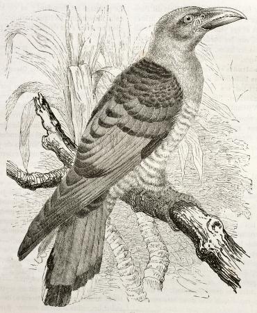 cuckoo: Channel-billed Cuckoo old illustration (Scythrops novaehollandiae). Created by Kretschmer and Illner, published on Merveilles de la Nature, Bailliere et fils, Paris, ca. 1878