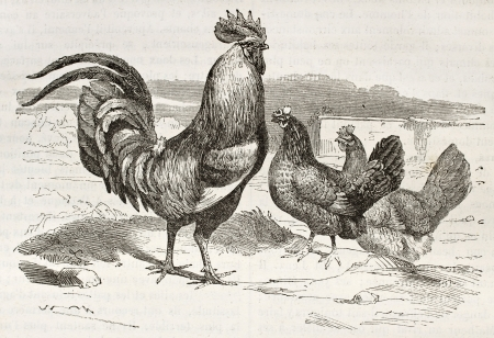 Cocq old illustration (Gallus gallus domesticus). Created by Sargent, published on Merveilles de la Nature, Bailliere et fils, Paris, ca. 1878
