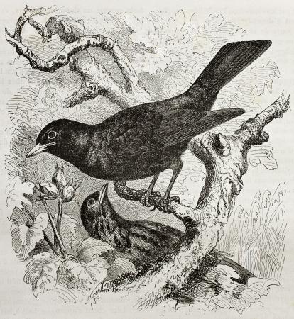 blackbird: Common Blackbird old illustration (Turdus merula). Created by Kretschmer and Illner, published on Merveilles de la Nature, Bailliere et fils, Paris, 1878