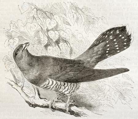 Common Cuckoo old illustration (Cuculus canorus). Created by Kretschmer, published on Merveilles de la Nature, Bailliere et fils, Paris, ca. 1878